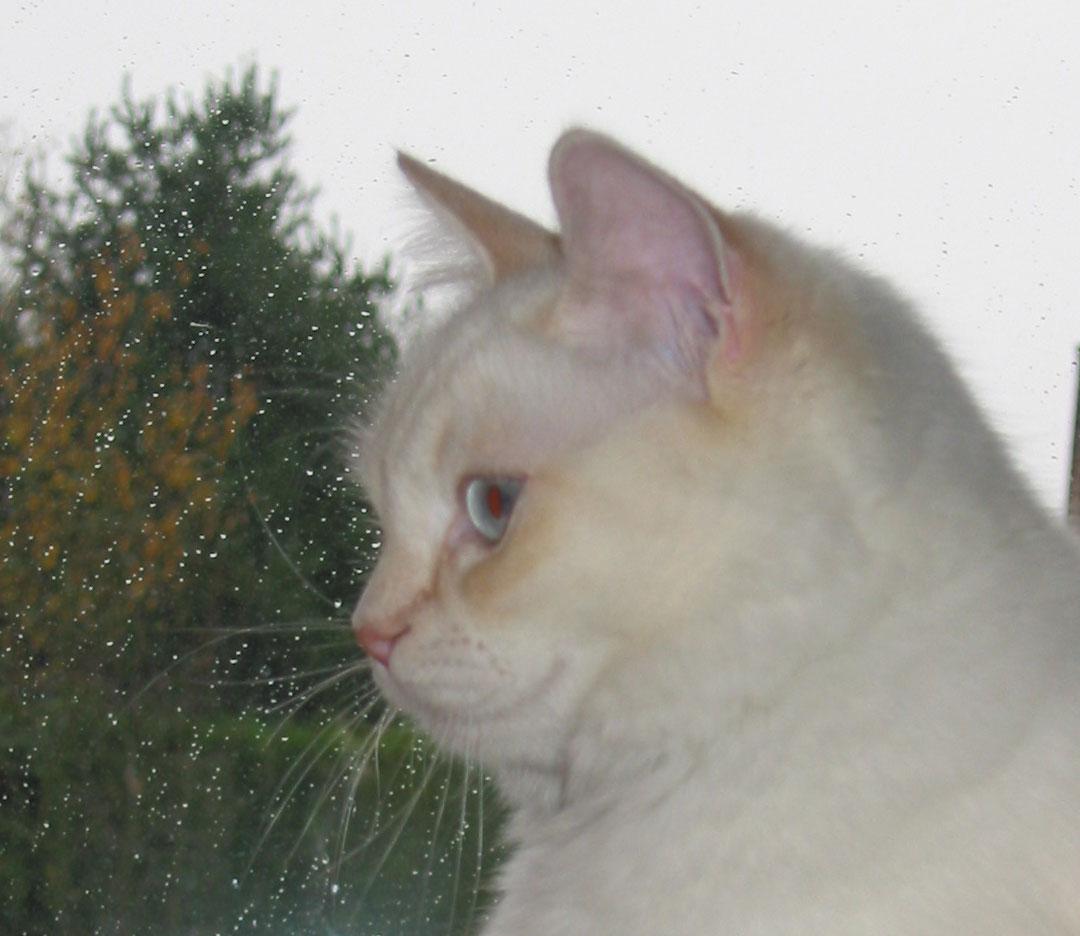Chats Ragdoll crème